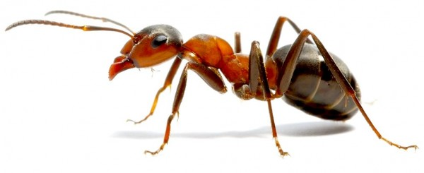 2017-07-25-23-28-38-ant-wood-formica-rufus