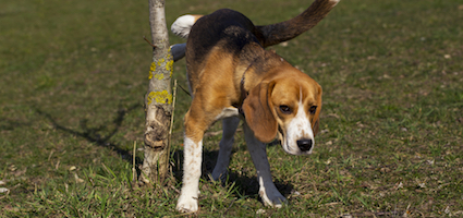 shutterstock_beagle_marking_hero