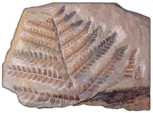 Fosili - Page 3 Geografija_5_14a_7_biljni_fosil