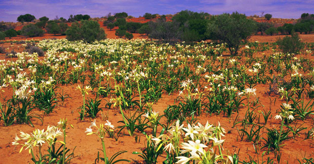 Simpson_Desert_flowers
